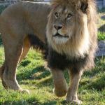 Löwe im Tierpark Herberstein