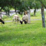 Schafe im Gasthof Schneider